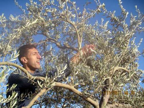 Rafiq picking olives